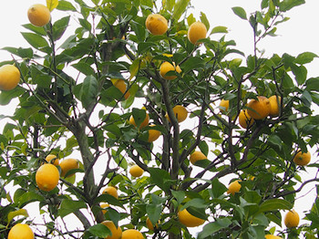 1512_lemon_p0022_