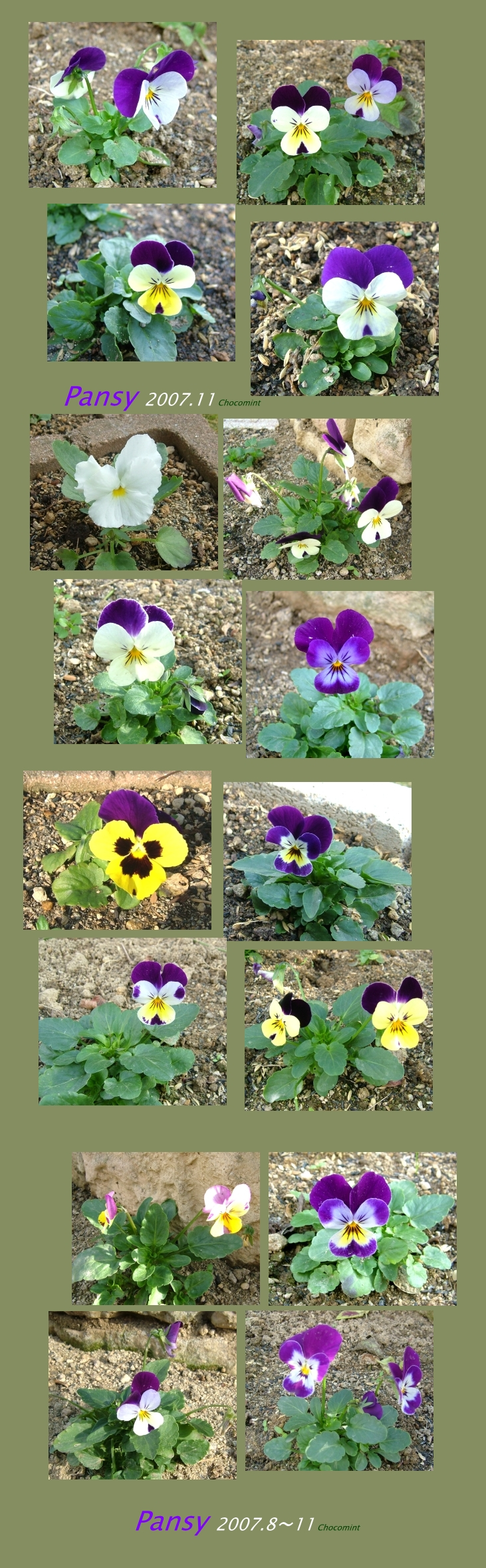 2007_1128pansy_col02