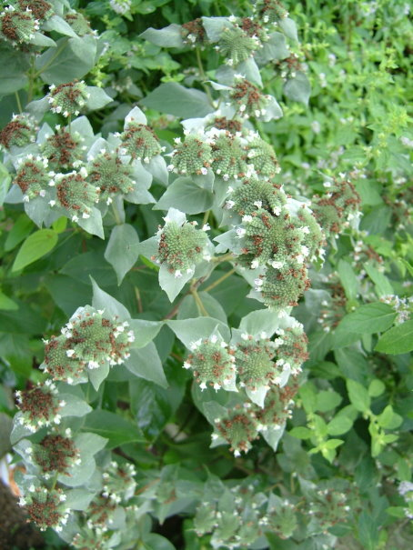 080903mountain_mint