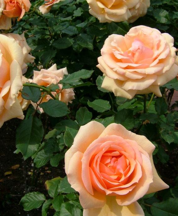 081102fragrant_apricot01