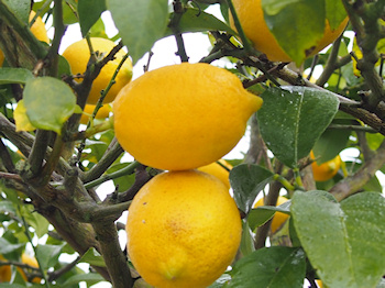 1512_lemon_p0017_