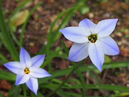 1603_ipheion_p0021_