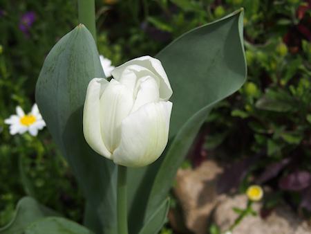 1604_tulip_p0048_